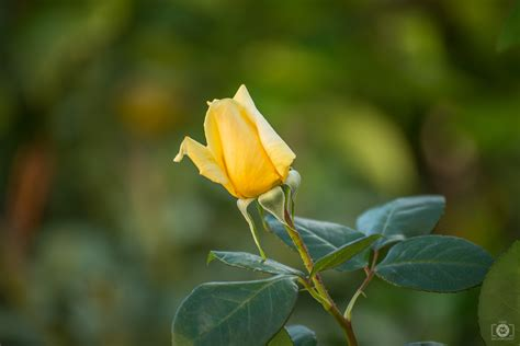 yellow rose bud background high quality  backgrounds