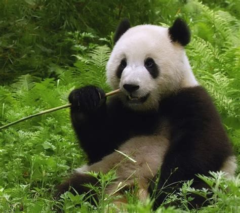 The giant panda is no longer an endangered species