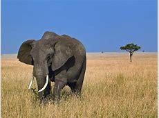 African ElephantIvory Coast National Animal Full