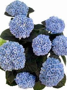 Blau Blühender Bodendecker : bl hende hortensie magical blau pflanzenklick ~ Frokenaadalensverden.com Haus und Dekorationen