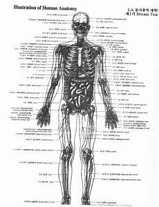 Full Human Anatomy Diagram