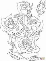 Coloring Bush Rose Roses Disegni Rosa Adult Printable Colorare Schematisch Shrub Kleurplaat Grandiflora Blumen Drawings Immagini Flowers Sheets Prominent Ausmalbilder sketch template