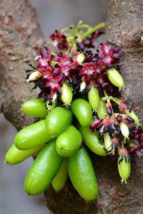 cuisine indonesienne averrhoa bilimbi nature fruits frutos
