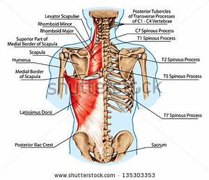 Rhomboids Major & Minor | John The Bodyman Fitness Academy