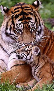 Tiger Cubs Wallpapers - Wallpaper Cave