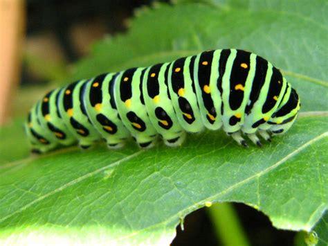 アゲハチョウ の 幼虫