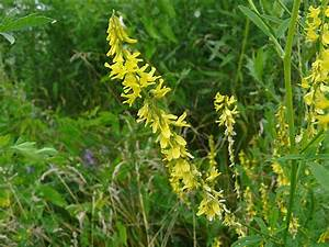 Toronto Wildlife - More Yellow Sweet-clover
