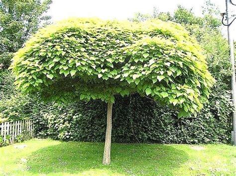 antizanzare giardino catambra repellente antizanzare naturale piante da