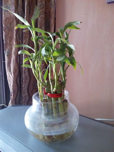 Lucky Bamboo Pflege by How To Take Care Of Lucky Bamboo 12 Steps With Pictures