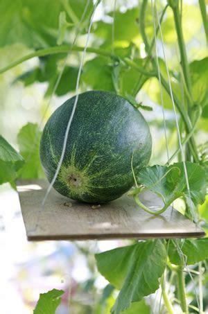 melonen anbauen pflanzen von wassermelone und
