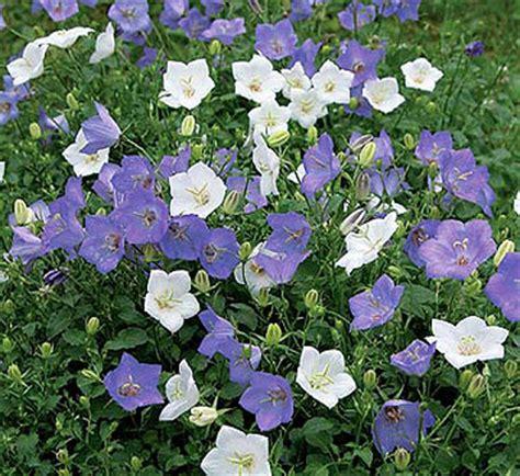 bellflower plant bellflower