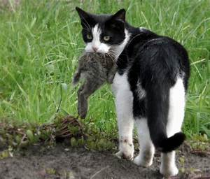 Toxoplasmosis: how feral cats kill wildlife without ...