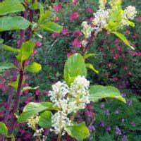 red stem ceanothus ceanothus sanguineum native plant guide