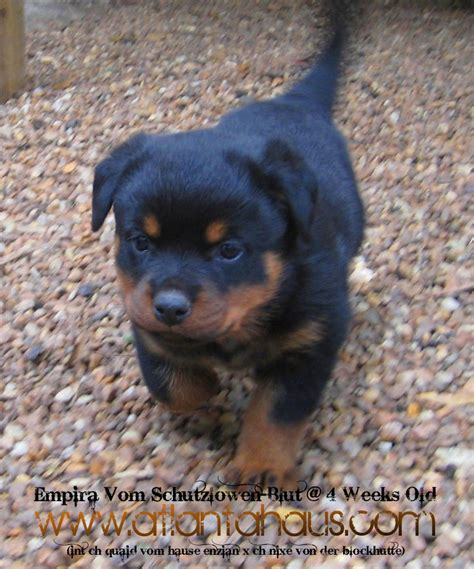 rottweiler purebred much breeder purchasing process