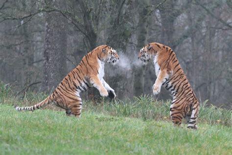 Amur Tigers Enjoy Winter Play Longleat Discover Animals