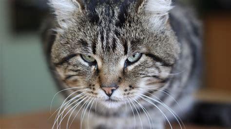 hd wallpaper evil cat desktop