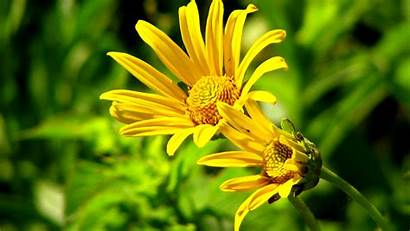 Flowers 4k Yellow Wallpapers 1080p