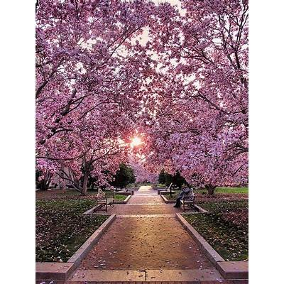 National Cherry Blossom Festival USA – Extreme Spring