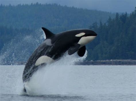 Caravelle 4k Wallpapers by Spectacular Orca Show Like Fireworks On 4th Of July