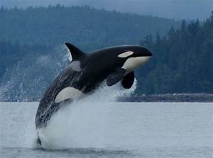 Spectacular orca show 'like fireworks on 4th of July ...