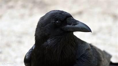 Raven Bird Head Wallpapers Birds Common Close