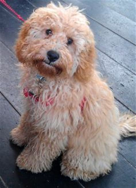 1000 images about cockapoo s on pinterest cockapoo