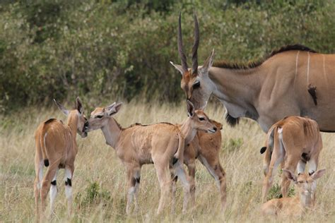 Climate change puts most threatened African antelopes in