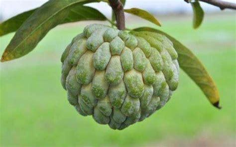 In season: Custard apple - Food & Drink News