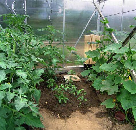 gurken und tomaten im gewächshaus gew 196 chshaus warm und gesch 252 tzt haus garten badische zeitung