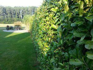 Kirschlorbeer Pflanzen Abstand : kirschlorbeer jetzt pflanzen 9 tipps mit details zur ~ Lizthompson.info Haus und Dekorationen