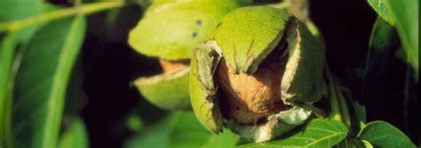 walnussbaum wachstum pro jahr 220 berraschung f 252 r chemiker sexualhormon im walnussbaum n tv de