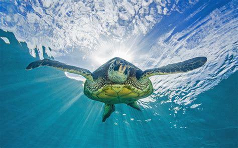 Turtle Tortoise Ocean Underwater Sunlight HD wallpaper