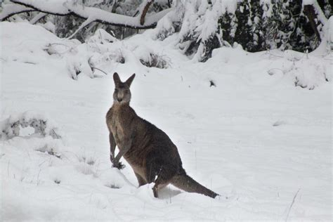 roo in the snow abc news australian broadcasting