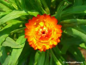 straw flowers strawflower plant picture 22