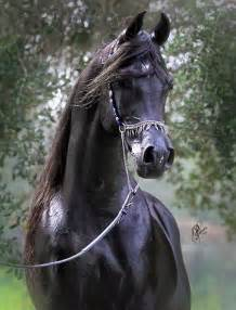 Black Arabian Stallion Horse