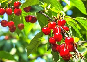 What Is A Barbados Cherry   With Pictures