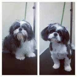 Shih Tzu Puppy Cut Before and After