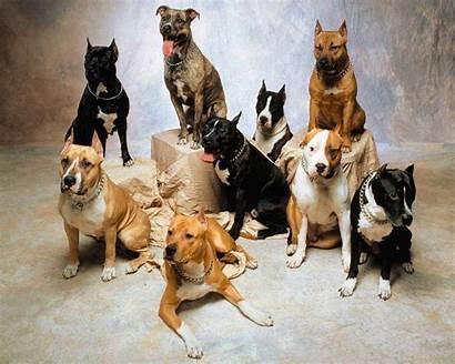 Pitbull Dog Wallpapers Desktop Dogs Puppies Pit