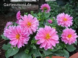 Dahlien Wann Pflanzen : dahlien rosa gartenmoni altes wissen bewahren ~ Frokenaadalensverden.com Haus und Dekorationen