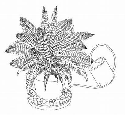 Fern Plants Drawing Botanical Garden Ferns Weaver
