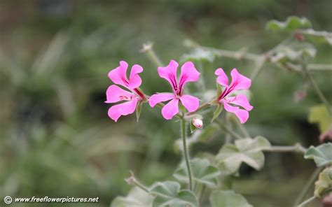 picture of geranium flower geranium pictures geranium flower pictures