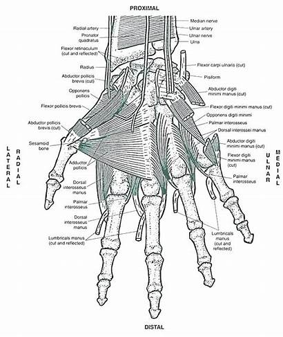 Anatomy Coloring Pages Muscle Muscles Musculoskeletal Hand