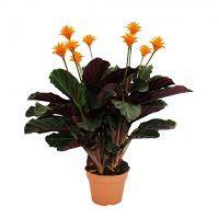 Calathea Blätter Hängen by Schattenpflanze Mit Leutenden Bl 252 Ten Calathea Crocata