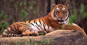 Just 3,500 tigers in the wild and only 20 years to save ...