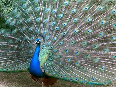 peacock open tail feathers by caninesrock on deviantart