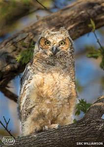 Iowa Owl Identification Guide