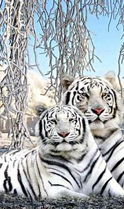 Cute Baby White Tiger Wallpaper | Wallpapers Gallery