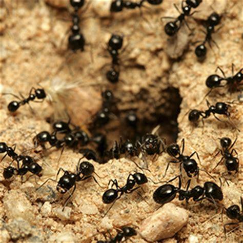 colonie cuisine j 39 ai des fourmis qu 39 est ce que c 39 est insecticides kapo