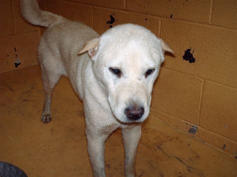 Do Shar Pei Lab Mix Shed by Saving Spalding Pets Bo6 328 Labrador Retriever Shar Pei