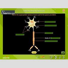 Label The Parts Of Nerve Cell Youtube